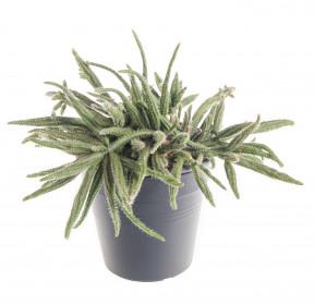 Věšák, Rhipsalis baccifera ssp. horrida, průměr květináče 10 - 12 cm