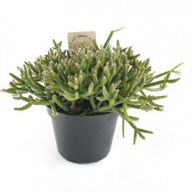 Věšák, Rhipsalis burchelli, průměr květináče 10 - 12 cm