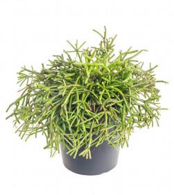 Věšák, Rhipsalis clavata, průměr květináče 10 - 12 cm