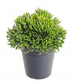 Věšák, Rhipsalis heteroclada, průměr květináče 10 - 12 cm