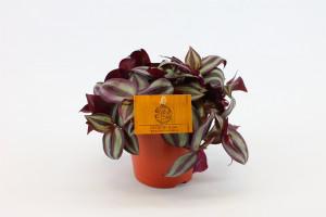 Voděnka třibarevná, Tradescantia zebrina, průměr květináče 12 cm
