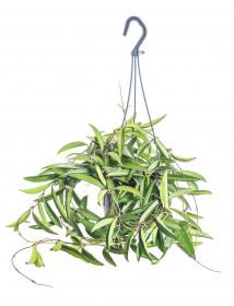 Voskovka, Hoya wayetii závěs, zelená, průměr květináče 14 cm