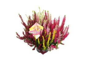 Vřes obecný Beauty Ladies High Five, Calluna vulgaris, průměr květináče 13 cm