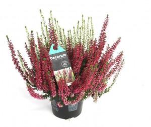 Vřes obecný Beauty Ladies Twins, Calluna vulgaris, průměr květináče 11 cm