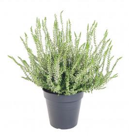 Vřes obecný, Calluna vulgaris, bílý, průměr květináče 10.5 cm