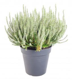 Vřes obecný, Calluna vulgaris, bílý, průměr květináče 17 cm
