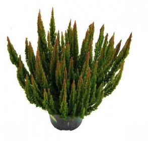 Vřes obecný - Calluna vulgaris skyline tmavě zelený velký