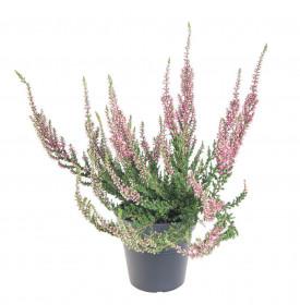 Vřes obecný, Calluna vulgaris, světle růžový, průměr květináče 10.5 cm