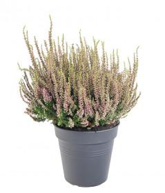 Vřes obecný, Calluna vulgaris, světle růžový, průměr květináče 17 cm