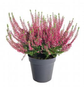 Vřes obecný, Calluna vulgaris, tmavě růžový, průměr květináče 12 cm
