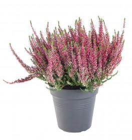 Vřes obecný, Calluna vulgaris, tmavě růžový, průměr květináče 17 cm