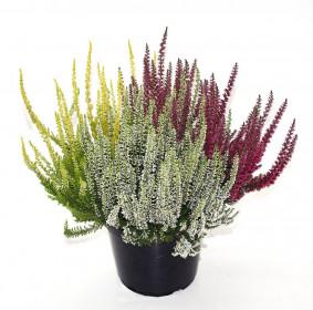 Vřes obecný - Calluna vulgaris tři barvy velký