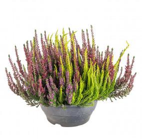 Vřes obecný High Five, Calluna vulgaris, miska, průměr květináče 23 cm