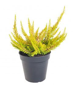 Vřes obecný Seastar, Calluna vulgaris, průměr květináče 11 cm