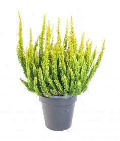 Vřes obecný Skyline, Calluna vulgaris, světle zelený, průměr květináče 10 - 11 cm