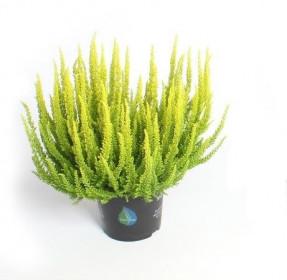 Vřes obecný Skyline, Calluna vulgaris, světle zelený, průměr květináče 12 - 13 cm
