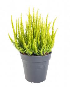 Vřes obecný Skyline, Calluna vulgaris, světle zelený, průměr květináče 17 cm