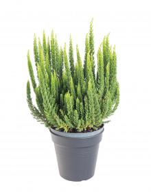 Vřes obecný Skyline, Calluna vulgaris, tmavě zelený, průměr květináče 11 cm