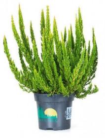 Vřes obecný Skyline, Calluna vulgaris, tmavě zelený, průměr květináče 12 - 13 cm