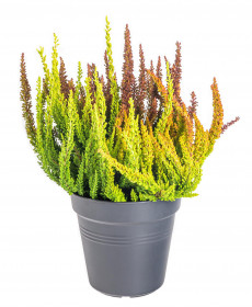 Vřes obecný Sunset Girls, Calluna vulgaris, tříbarevný, průměr květináče 13 cm