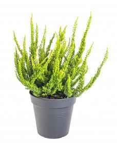 Vřes obecný Sunset Girls Zeta, Calluna vulgaris, světle zelený, průměr květináče 12 cm