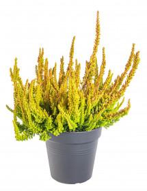Vřes obecný Sunset Girls Zoe, Calluna vulgaris, oranžový, průměr květináče 12 cm