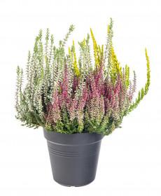 Vřes obecný Trios, Calluna vulgaris, tříbarevný, průměr květináče 13 cm