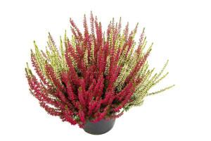 Vřes obecný Twins, Calluna vulgaris, průměr květináče 17 cm