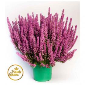 Vřesovec Beauty Queens, Erica gracilis, průměr květináče 17 cm