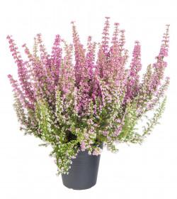 Vřesovec Beauty Queens, Erica gracilis, světle růžová, průměr květináče 12 - 13 cm