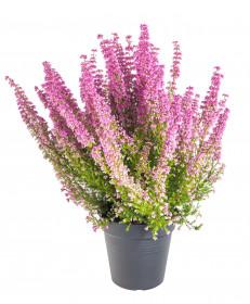 Vřesovec , Erica gracilis Mister Line, světle růžový, průměr květináče 12 cm