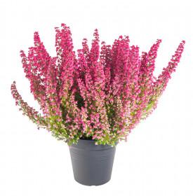 Vřesovec , Erica gracilis Mister Line, tmavě růžový, průměr květináče 12 cm