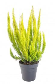 Vřesovec stromovitý, Erica arborea Alberts Gold, zelený, průměr květináče 13 cm