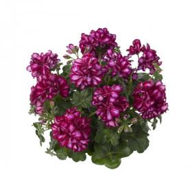 Výhodné balení 10x Muškát převislý, Pelargonium peltatum, bílo - fialový, velikost květináče 10 - 12 cm