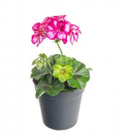 Výhodné balení 10x Muškát převislý, Pelargonium peltatum, bílo - růžový, velikost květináče 10 - 12 cm