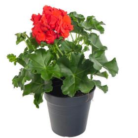 Výhodné balení 10x Muškát převislý, Pelargonium peltatum, červený, velikost květináče 10 - 12 cm