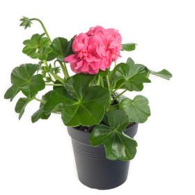 Výhodné balení 10x Muškát převislý, Pelargonium peltatum, světle růžový, velikost květináče 10 - 12 cm