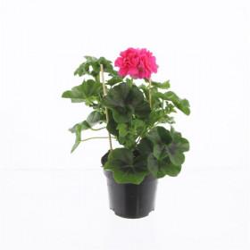 Výhodné balení 10x Muškát převislý, Pelargonium peltatum, tmavě růžový, velikost květináče 10 - 12 cm