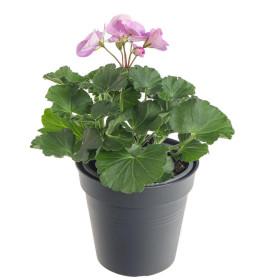 Výhodné balení 10x Muškát vzpřímený, Pelargonium zonale, bílo - fialový, velikost květináče 10 - 12 cm