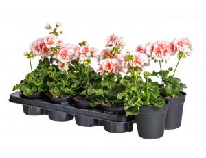 Výhodné balení 10x Muškát vzpřímený, Pelargonium zonale, bílo - oranžová, velikost květináče 10 - 12 cm