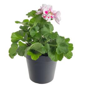 Výhodné balení 10x Muškát vzpřímený, Pelargonium zonale, bílo - růžový, velikost květináče 10 - 12 cm