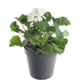 Výhodné balení 10x Muškát vzpřímený, Pelargonium zonale, bílý, velikost květináče 10 - 12 cm