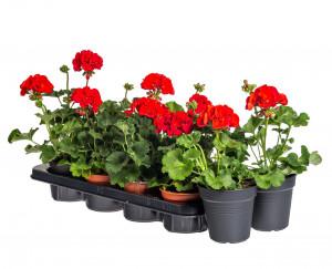 Výhodné balení 10x Muškát vzpřímený, Pelargonium zonale, červený, velikost květináče 10 - 12 cm