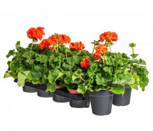Výhodné balení 10x Muškát vzpřímený, Pelargonium zonale, oranžový, velikost květináče 10 - 12 cm