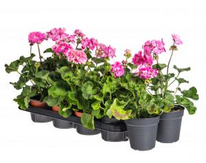 Výhodné balení 10x Muškát vzpřímený, Pelargonium zonale, světle růžový, velikost květináče 10 - 12 cm