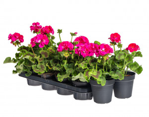 Výhodné balení 10x Muškát vzpřímený, Pelargonium zonale, tmavě růžový, velikost květináče 10 - 12 cm