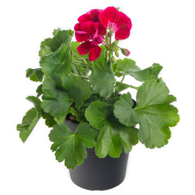 Výhodné balení 10x Muškát vzpřímený, Pelargonium zonale, vínový, velikost květináče 10 - 12 cm