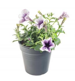 Výhodné balení 10x Potunie, bílá s fialovým žilkováním, velikost květináče 10 - 12 cm