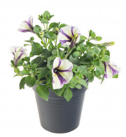 Výhodné balení 10x Potunie, bílá s fialovými pruhy, velikost květináče 10 - 12 cm