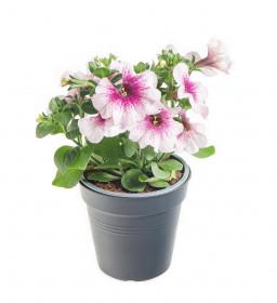 Výhodné balení 10x Potunie, bílá s růžovým žilkováním, velikost květináče 10 - 12 cm